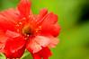 Complimentary Colours (Wilamoyo) Tags: gardenflowers red petals macro green bokeh dof narrow depth field 28 closeup stamen beauty flora bright dazzle wow impact botany nature