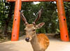 The spirit of Nara (Clément_J) Tags: nara japan park nikon d7200 nikkor 17 55 f28 deer nature animal cerfs bois spirit