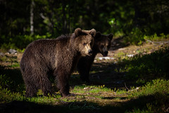 Teenage bears (CecilieSonstebyPhotography) Tags: ursusarctos bjørn markiii bear bears finland animals woods canon5dmarkiii canon forest outdoor ef100400mmf4556lisiiusm teenagebears brownbear animal specanimal wild