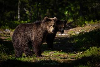 Teenage bears