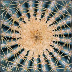_MG_8692 (Celtycrow) Tags: coussindebellemère ferocactusglaucescens cactus cacteae cactii