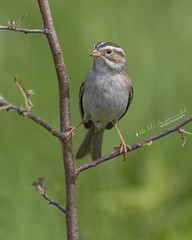 Clay-coloured Sparrow (Bill McDonald 2016) Tags: claycolored grassland sparrow canada ontario billmcdonald wwwtekfxca perching perched spring 2018 june httpgrenfellweeblycom