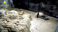 2018_06-10k (gkoo19681) Tags: beibei chubbycubby fuzzywuzzy adorableears favoritetub testing takingadip bath allbetter toocute contentment beingadorable meltinghearts darling ccncby nationalzoo