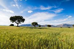 Vendo nikkor 18-35 (ser-y-star) Tags: vendo nikkor 1835 paisaje landscape cereal arboles trees