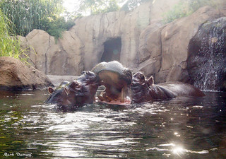 Morning Hippos