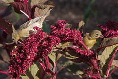 Amaranth feast (Distraction Limited) Tags: tucsonbotanicalgardens tucsonbotanical botanicalgardens gardens tucson arizona tbg20180605 amaranthus amaranth flowers lessergoldfinch spinuspsaltria goldfinches spinus birds nativeamericancropsgarden
