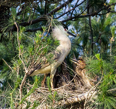 BCNH - mother and chicks (Lee J2) Tags: nest rookery blackcrownednightheron nycticoraxnycticorax ephrata pennsylvania