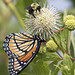 viceroy butterfly & bumblebee on buttonbush plant