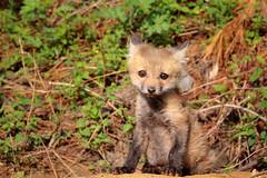 Quizzical fox kit (Beth Bennett & Gérard Cachon) Tags: fox kit cub eye eyes fur paw volpe renard zorro cynwyd trail