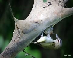 Red-eyed Vireo Raiding Caterpillar Nest (GaryT48) Tags: vireoolivaceus redeyedvireo tiogacounty pennsylvania stategamelands37 bird wildlife