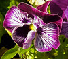 Purple & White Pansy (Cornishcarolin. Stupid busy!! xx) Tags: cornwall penryn flowers nature pansies oiled filter oilfilter plants 1001nights