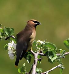 Jaseur d'Amérique (Marie-Helene Levesque) Tags: oiseau abitibi valdor bourlamaque jaseur jaseurdamérique mariehélène mariehelene