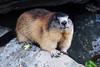 A little friend (marmot) (Martib97) Tags: marmot marmotta austria grosglockner summer
