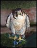 Lanner Falcon (kcm76) Tags: walthamabbey codafalconry birds 2018 olympuse620