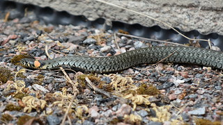 Natrix natrix / Grass snake (Espoo, Velskola, 20180610)