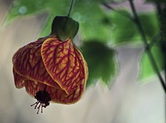 Bell In The Breeze (ACEZandEIGHTZ) Tags: striatum abutilon pictum nikon d3200 garden flower chinese lantern closeup bokeh colors bright vibrant green blur leaves backyard