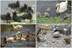Lots of new born life in Preston (Tony Worrall) Tags: preston lancs lancashire city welovethenorth nw northwest update place location uk england north visit area attraction open stream tour country item greatbritain britain english british gb capture buy stock sell sale outside outdoors caught photo shoot shot picture captured rspb bird birds newborn wild wildlife beauty life new born baby small young tern moorhen diuck cygnet swan outdoor