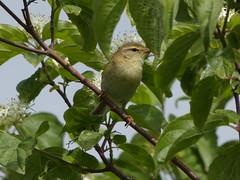 Willow warbler (Deanne Wildsmith) Tags: chasewater bird willowwarbler warbler staffordshire