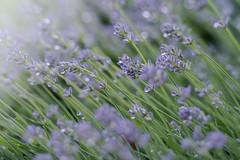 lavender + sprinklers (Elle_Zee) Tags: lensbaby edge80