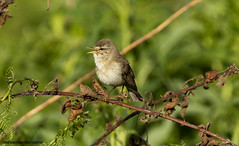 Willow Warbler (jonathancoombes) Tags: birds bird wildlife nature explore prey raptor warbler willow