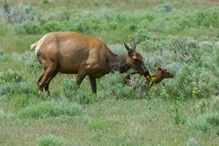 A new dawning (ChicagoBob46) Tags: elkcalf elkcow elk yellowstone yellowstonenationalpark nature wildlife coth5 ngc npc