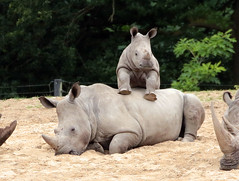White Rhino Burgerszoo JN6A6469 (j.a.kok) Tags: rhino rhinoceros rhinocerosunicornis whiterhino witteneushoorn neushoorn breedlipneushoorn burgerszoo animal africa afrika mammal zoogdier dier herbivore