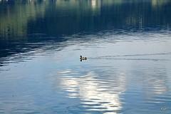 Um pato no meio dos reflexos!! (puri_) Tags: lago reflexos nuvens pato verde azul austria