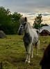 Span på den lille… (Patrick Strandberg) Tags: sweden östergötland bergagård freyda freydafrånblixtorp icelandichorse islandshäst horse häst iphone iphonex