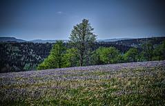 Trees and a sea of horn violets (Peter's HDR-Studio) Tags: petershdrstudio hdr trees landscape landschaft hornviolets hornveilchen forest wald sky himmel