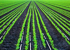 Lettuce In Riverbottom Soil (Michael T. Morales) Tags: salinas salinasvalley agriculture farm seedlings lettuce furrows green