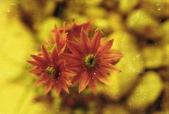 (von8itchfisk) Tags: flower flowercandy flowerporn nature succulent film filmisnotdead ishootfilm 35mm analog analogphotography redscale lomography olympus om10 vonbitchfisk