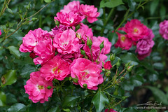 Pink Shrub Rose (elfinko1) Tags: pink blooming shrub roses rose flower flowers thorns nature green leaves