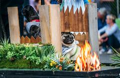 PugCrwal-62 (sweetrevenge12) Tags: pug parade crawl brewing sony pugs dog pet
