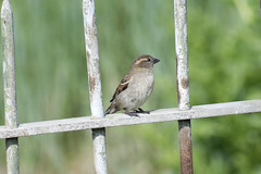 "Female House Sparrow • <a style=""font-size:0.8em;"" href=""http://www.flickr.com/photos/157241634@N04/27555899257/"" target=""_blank"">View on Flickr</a>"