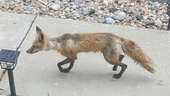May 13, 2018 - Fox in Broomfield. (David Canfield)