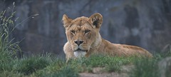 Lioness (Scott 97006) Tags: lioness lion watching head face resting observing alert