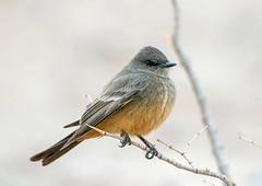 Say's Phoebe (Ed Sivon) Tags: america canon nature lasvegas wildlife wild western southwest desert clarkcounty clark county vegas bird henderson nevada
