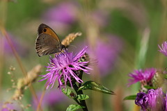 Precious Purple (ryorii) Tags: preciouspurple smileonsaturday flowers wildflowers fiori fioridicampo fioreselvatico fioriselvatici butterfly farfalla farfalle papillon