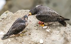 Feed me momma (cbjphoto) Tags: photography avian birdofprey bird peregrine falcon falcoperegrinus carljackson