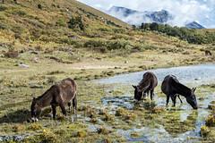 Mules grazing at Robluthang - Gasa District - Snowman Trek - Bhutan (PascalBo) Tags: nikon d500 asie asia southasia asiedusud drukyul drukgyalkhap bhutan bhoutan འབྲུག་ཡུལ། འབྲུག་རྒྱལ་ཁབ་ snowman trek trekking hike hiking lunana himalaya himalayas jigmedorjinationalpark gasa horse mule landscape paysage outdoor outdoors pascalboegli