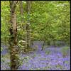 spring... (foto.phrend) Tags: woodland woods square leeds spring fujifilm bluebell templenewsam nature