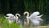 Swan family (murphy197) Tags: swans cygnets nikond7100 naturephotography pond