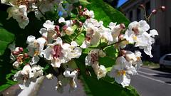 Utcai virágdíszlet (Szombathely) (milankalman) Tags: tree summer spring city nature