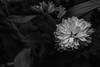 Foto-Arô Ribeiro-4778 (Arô Ribeiro) Tags: flowers flores jardim blackwhitephotos photography laphotographie ph bnw blackandwhite blackandwhiteportrait arte pretoebranco pb brazil nikond40x nikond7000 thebestofnikon nikon fineart