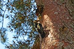 Большой пестрый дятел. (tam6524) Tags: большойпестрыйдятел dendrocoposmajor greatspottedwoodpecker bird animal nature nutrition wood forest picidae chicks femalebird