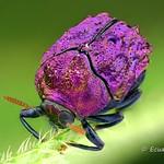 Tiny shiny Beetle, Chlamisus or Fulcidax sp.? Chrysomelidae: Cryptocephalina thumbnail