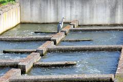 DSC_3897 Fischtreppe an der Rur von Roermond, ein Fischreiher wartet auf seine Beute. (stadt + land) Tags: fischtreppe rur fischreiher wartet beute niederlande roemond hansestadt hanse neuehanse fluss maas grenze deutschland einkauf outlet grenzstadt