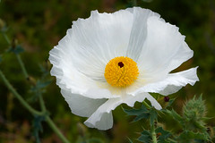Prickly Poppy (stephaniepluscht) Tags: alabama 2018 prickly poppy white wildflower