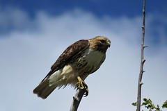 Out on a Limb (Patricia Henschen) Tags: colorado rural countryside ranch country sanluisvalley bird alamosacolorado alamosa backroads backroad redtailedhawk hawk roads raptor
