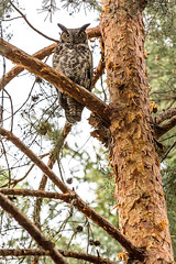 Great Horned Owl (Fresh Perspective with a Twist) Tags: bird prey pine tree owl daylight